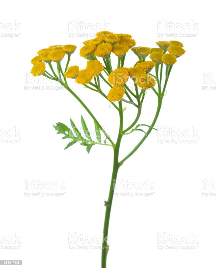 Yellow Tansy (Tanacetum vulgare) flowers isolated on white foto de stock royalty-free