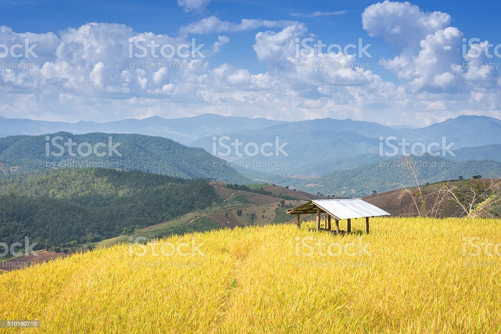 yellow Terraced Rice Field for agriculture and harvest themes at stock photo
