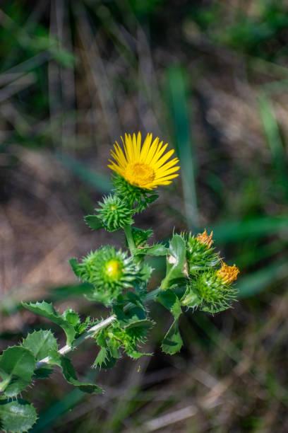 Yellow thistle flowers stock photo