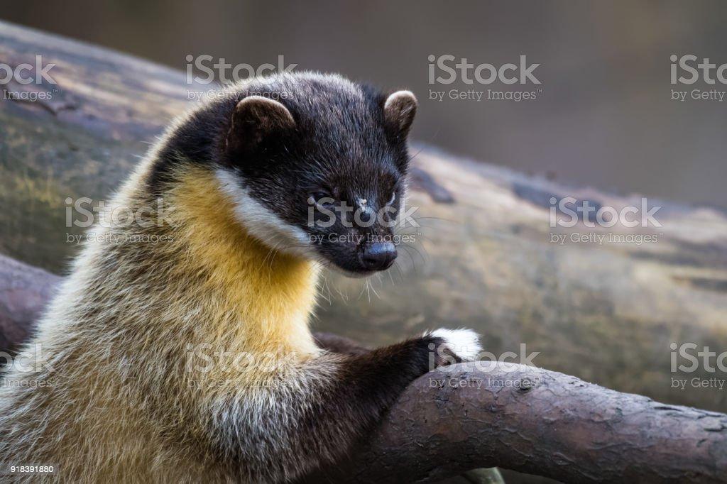 Gelbe-throated Marder – Foto