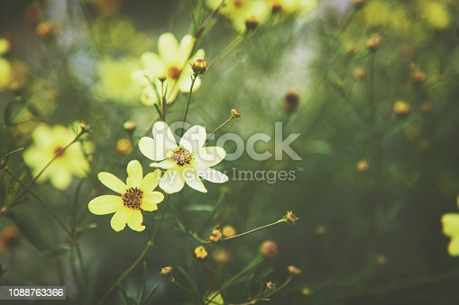 Yellow tickseed flower background