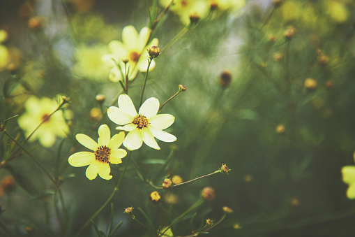 Yellow tickseed flower background