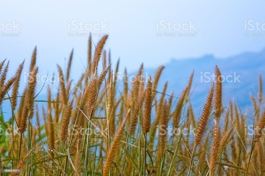 Yellow Timothy Grass Vingtage Background stock photo