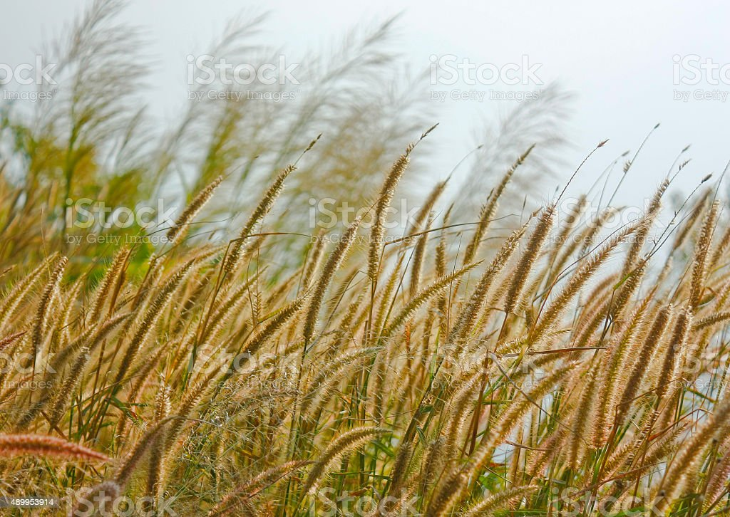 Yellow Timothy Grass With Rim Light Vingtage Background stock photo