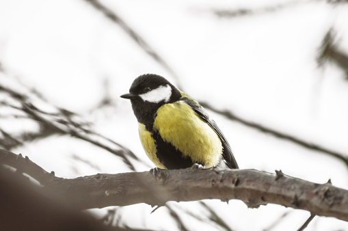 The yellow tit sits on a branch in winter and wants to eat