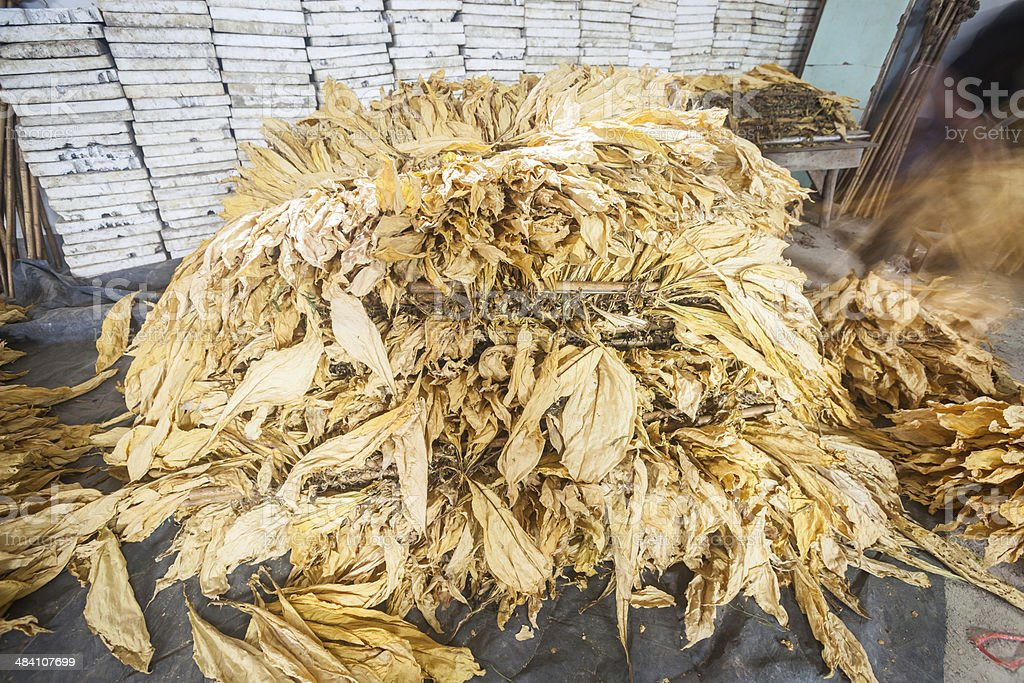 yellow tobacco leaves in the workshop stock photo
