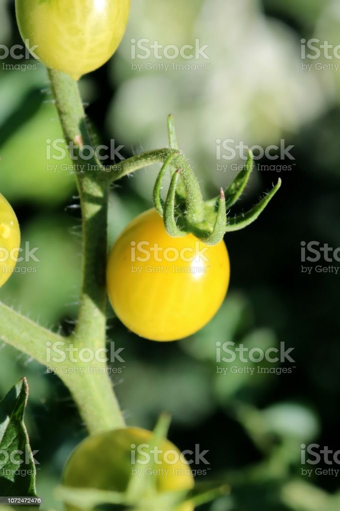 Gelbe Tomate, Nahaufnahme – Foto