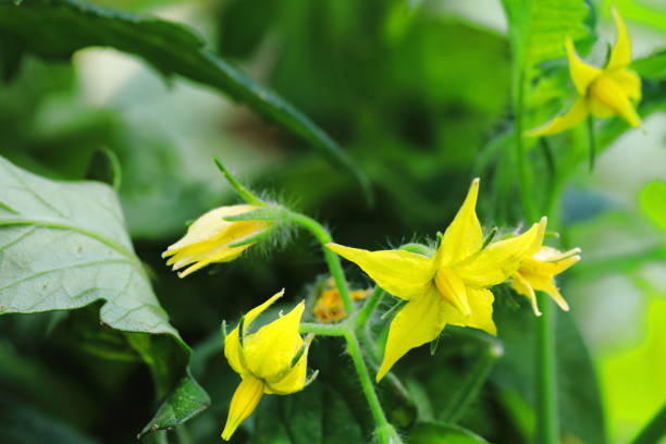 Yellow tomato flower on plant in green house Yellow tomato flower on plant in green house pejft stock pictures, royalty-free photos & images