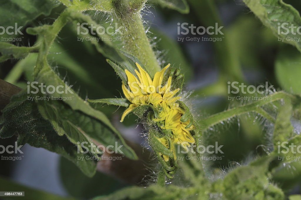 Yellow tomato flower on plant stock photo