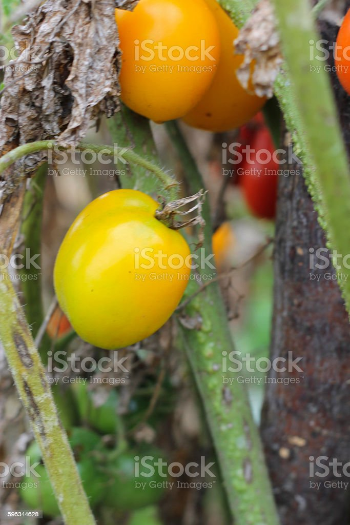 Yellow tomato growing  in the vegetable garden Lizenzfreies stock-foto