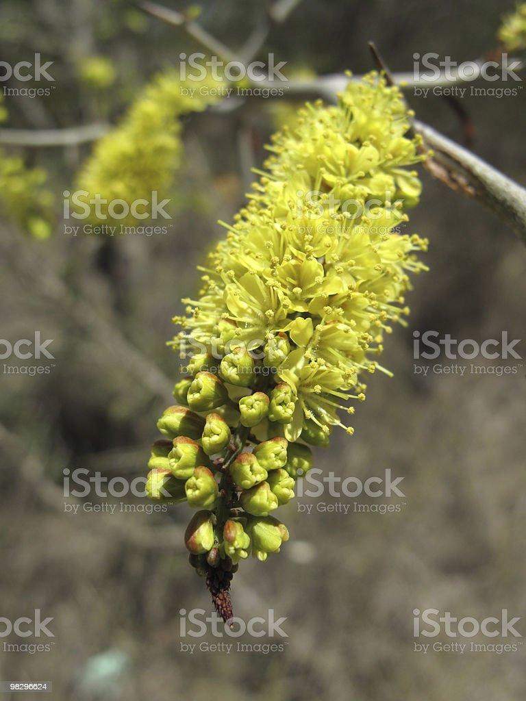 Yellow tree blossom, Antigua royalty-free stock photo