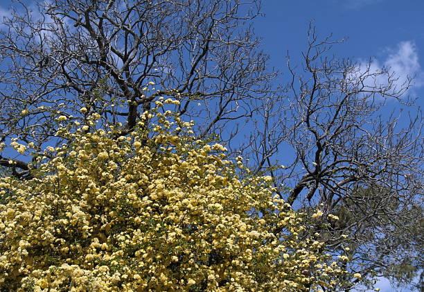 Árvore de Amarela - foto de acervo
