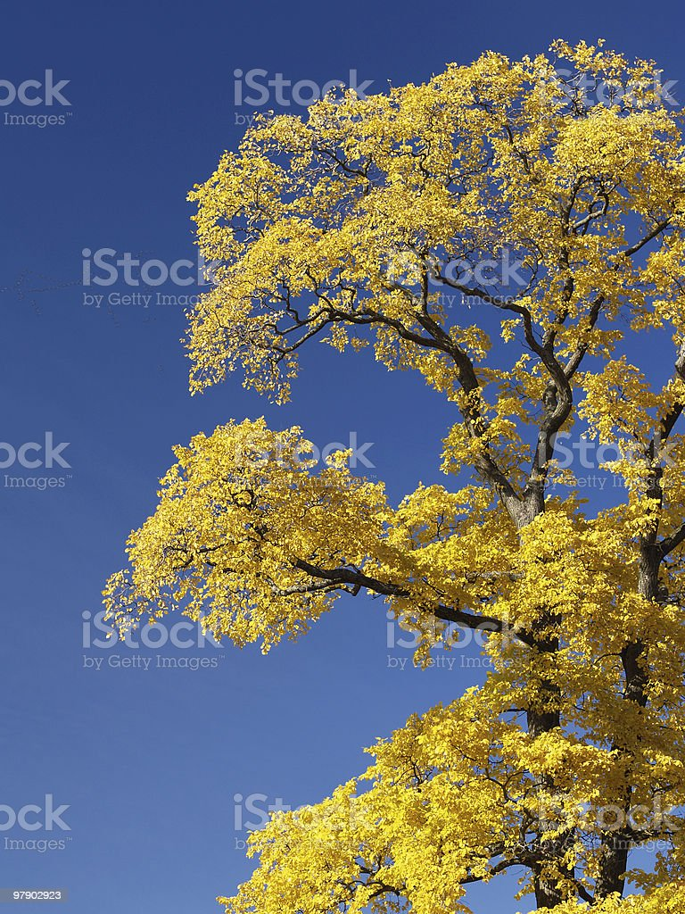 Yellow tree royalty-free stock photo