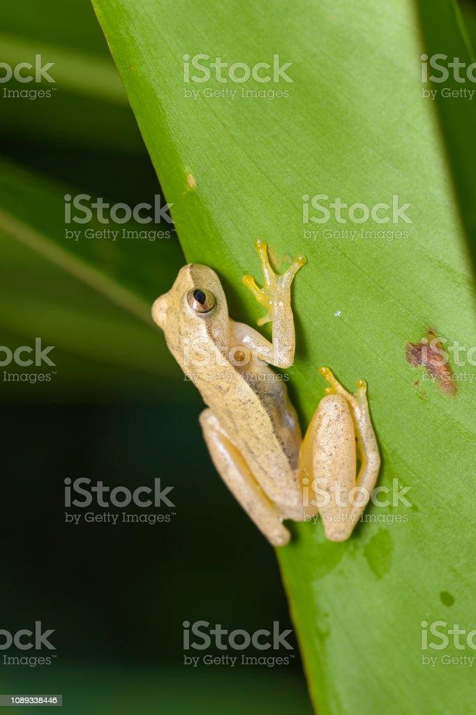 Gelbe treefrog – Foto