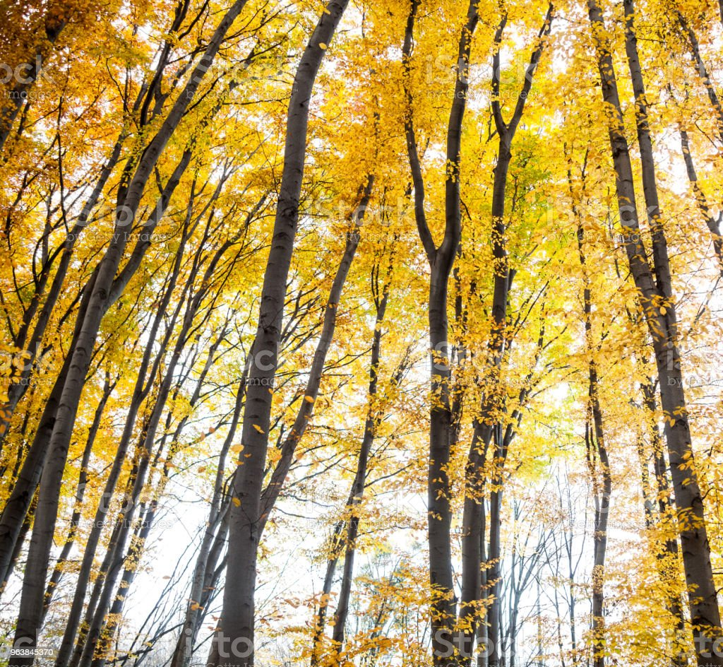Yellow trees in the forest - Royalty-free Abstract Stock Photo