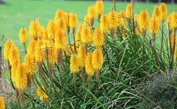 gele tritoma bloemen - torch lily stockfoto's en -beelden