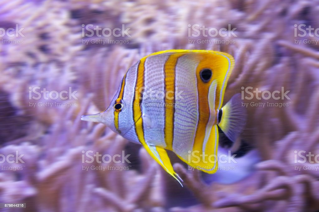 Yellow tropical butterflyfish with white stripes stock photo
