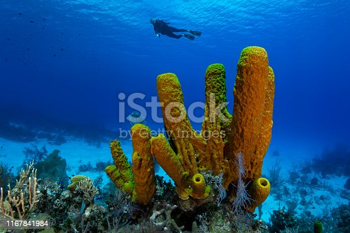 View of the Caribbean coral reef with the yellow tube sponge and female diver in Cayman Brac island - Cayman Islands