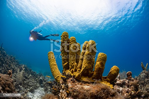 View of the Caribbean coral reef with the yellow tube sponge and female diver in Grand Cayman island - Cayman Islands