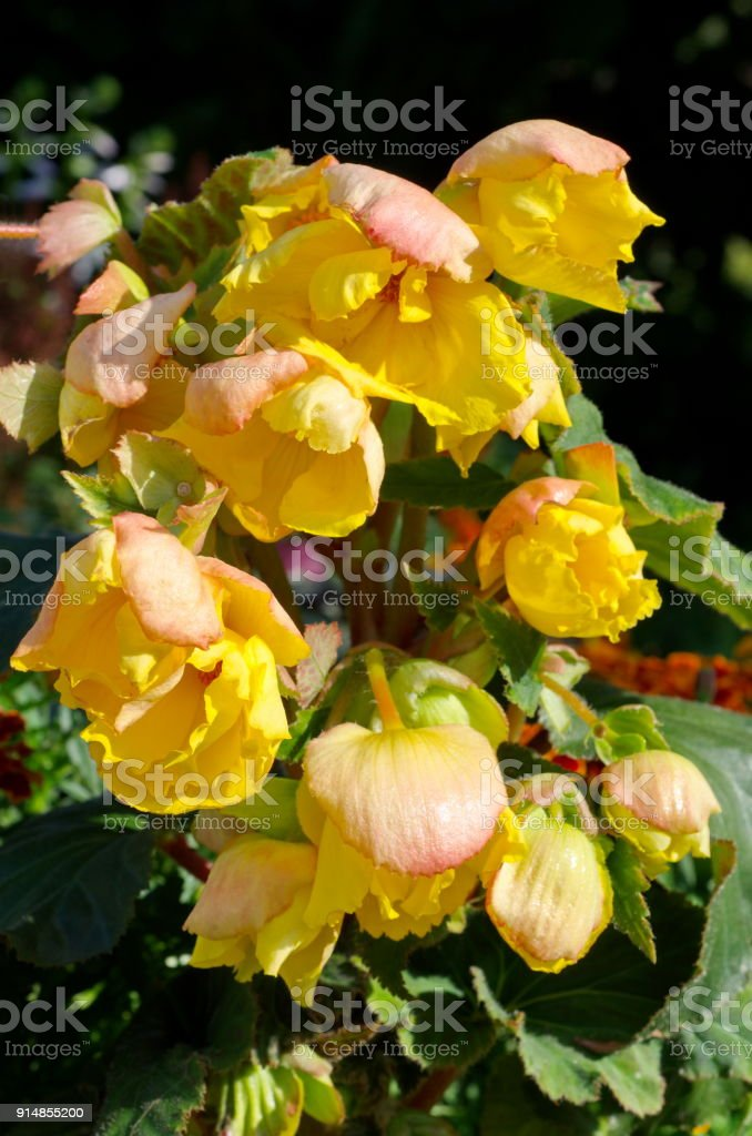 Yellow tuberous begonia blossoms in summer garden stock photo