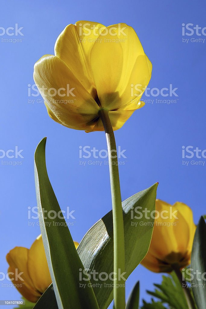 Yellow tulip against blue sky stock photo
