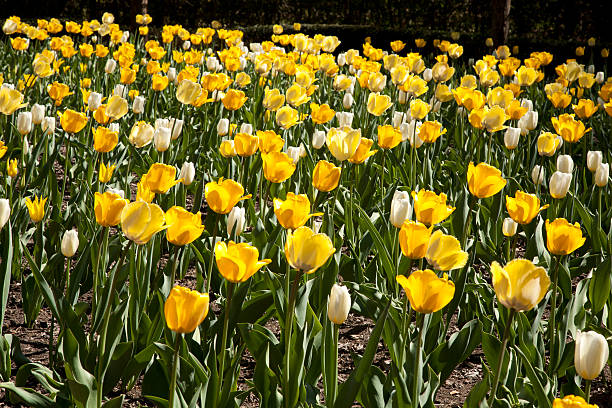 yellow tulip background stock photo