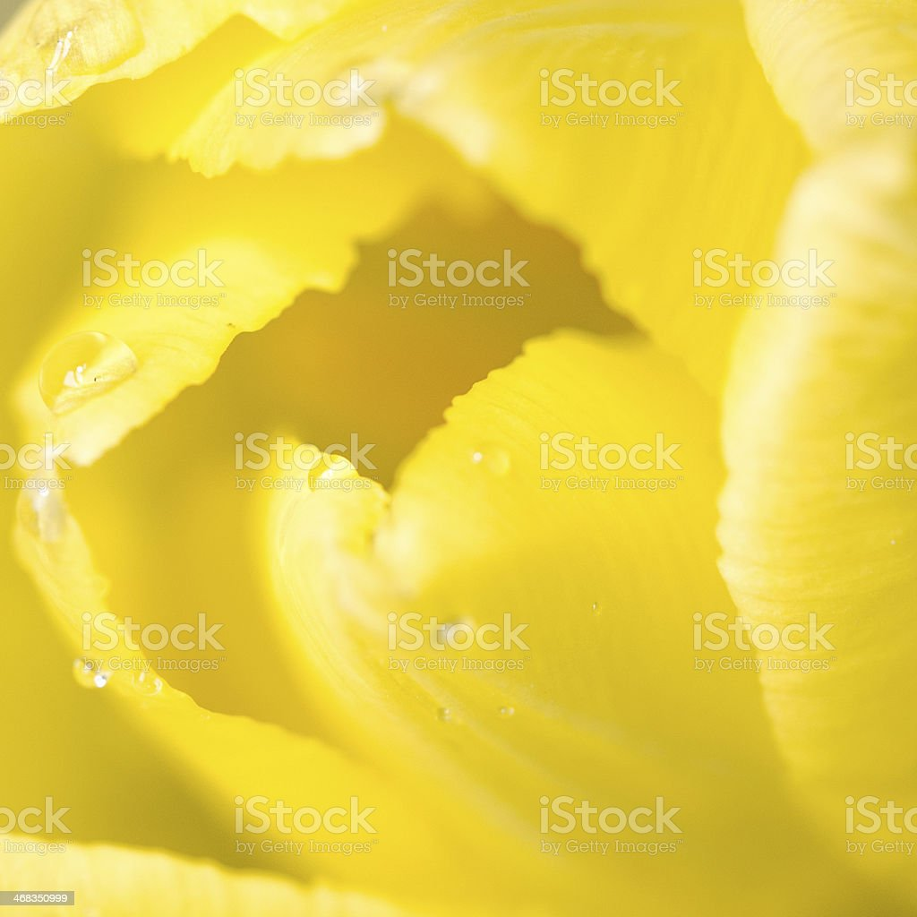 yellow tulip background royalty-free stock photo