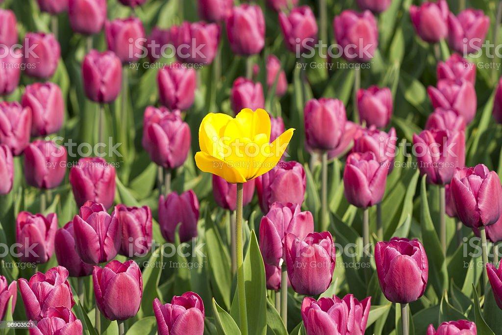 Yellow tulip beetween purple one royalty-free stock photo