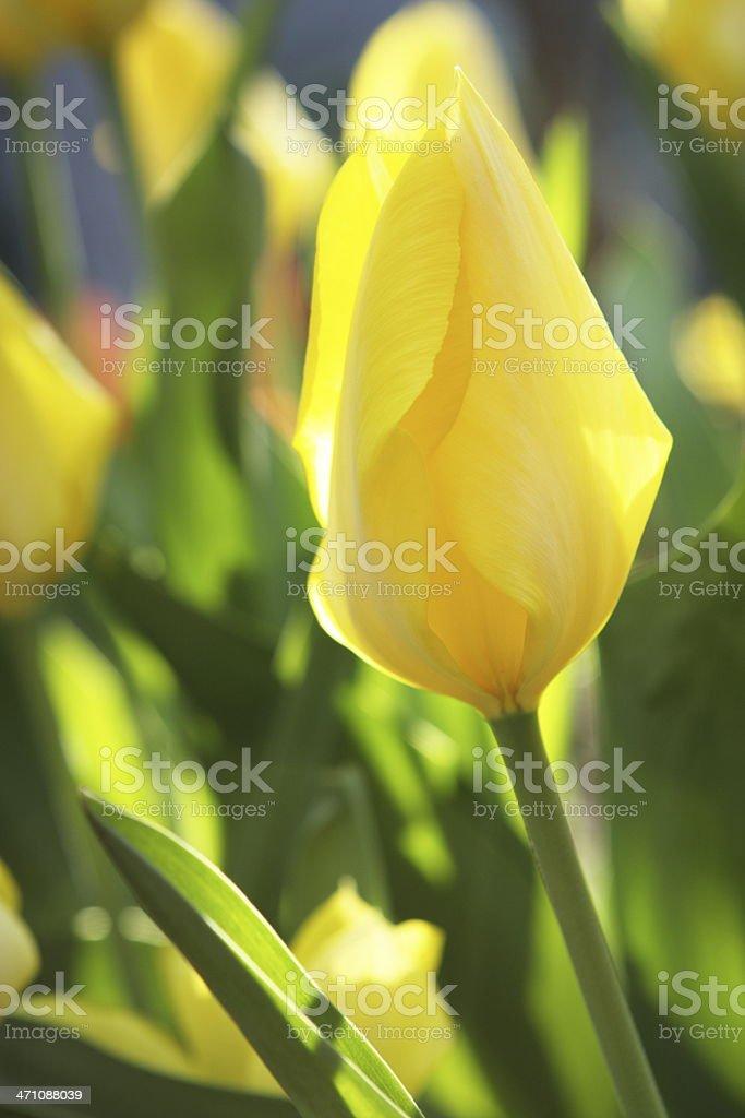 Yellow Tulip Flower Blossom Garden royalty-free stock photo