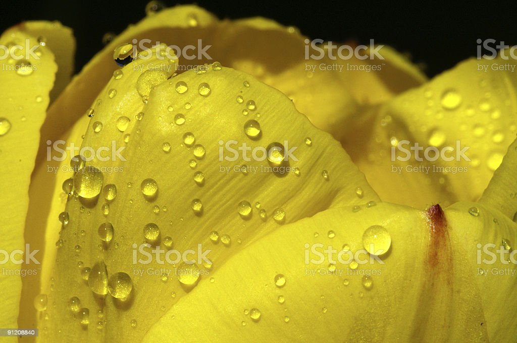 Yellow tulip flower with raindrops 1 royalty-free stock photo