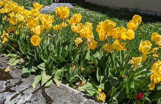 Yellow tulip flowers in the ski resort of Leysin  spring 2021 Vaud Canton Switzerland in flowerbed near mountain chapel