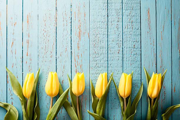 Yellow tulip flowers on old blue wood season background picture id466731810?b=1&k=6&m=466731810&s=612x612&w=0&h=lp8vrm9c6vvc5apay1rgt4cgboomo7rpsbrs6ws2og4=