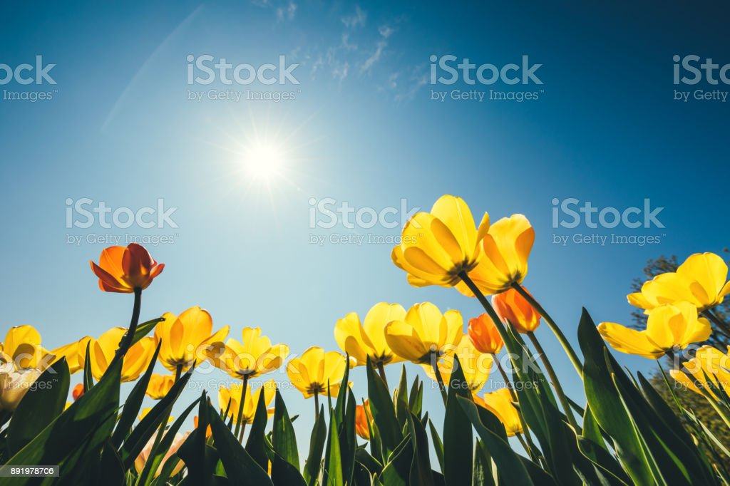 Yellow Tulip Flowers stock photo