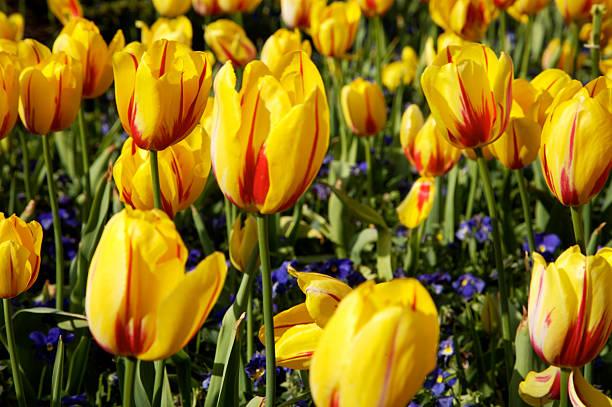yellow tulip garden stock photo