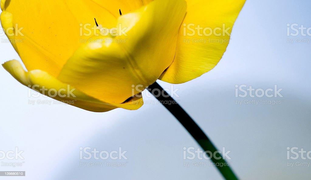 Gelbe Tulpe – Foto