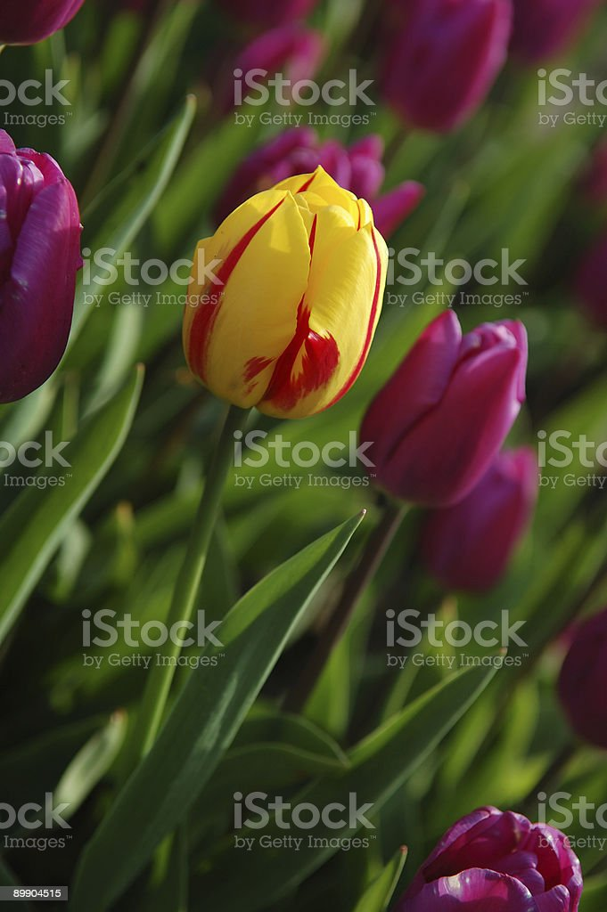 yellow tulip surrounded by purple tulips royalty-free stock photo