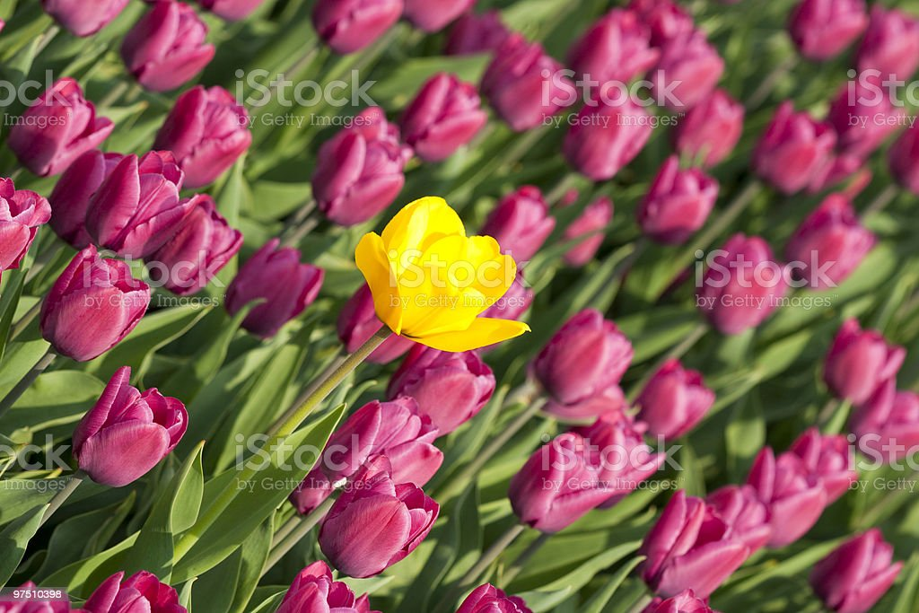 Yellow tulip with purple ones royalty-free stock photo