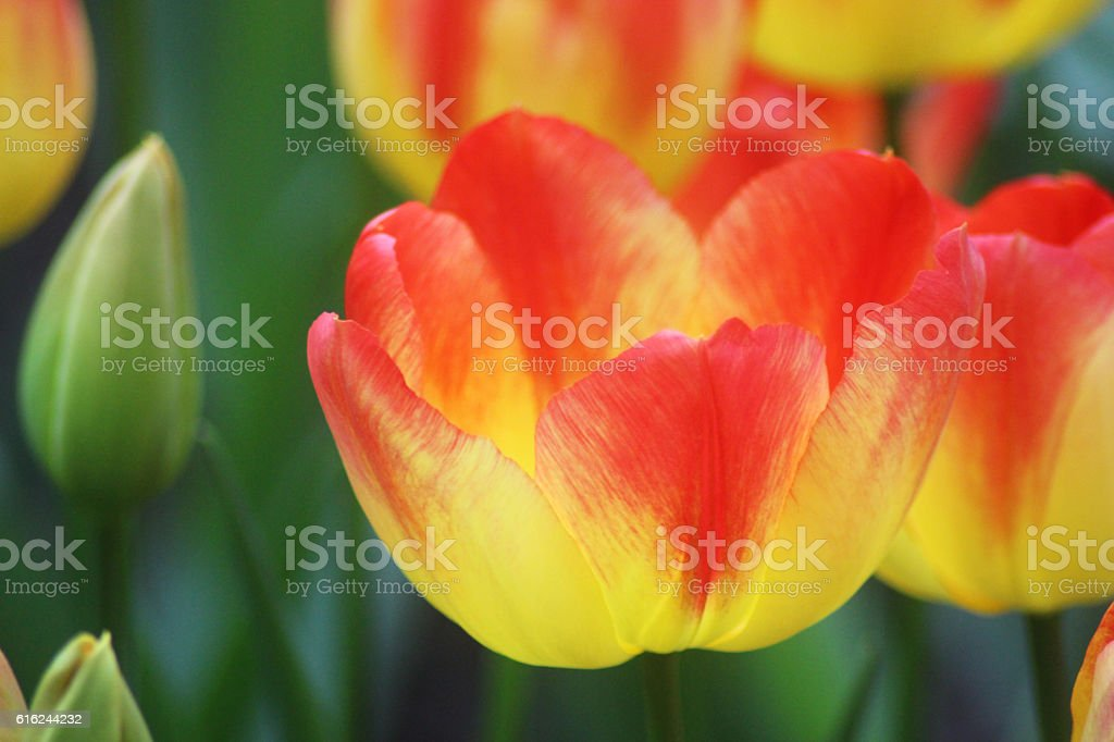 Yellow tulip with red tips stock photo more pictures of flower flower formal garden front or back yard tulip horizontal yellow tulip with red tips mightylinksfo