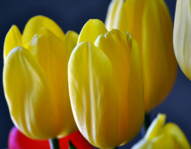 Yellow Tulips 1 Close up of several yellow tulips. neilliebert stock pictures, royalty-free photos & images
