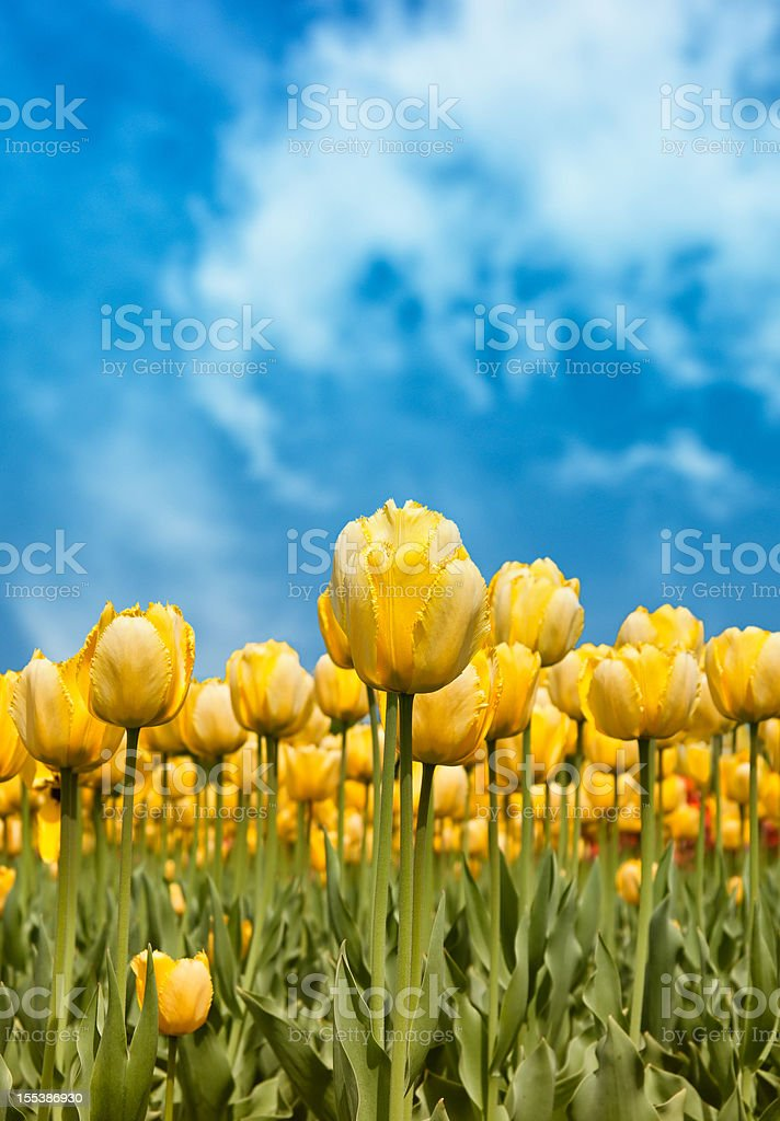 Yellow tulips against blue sky royalty-free stock photo