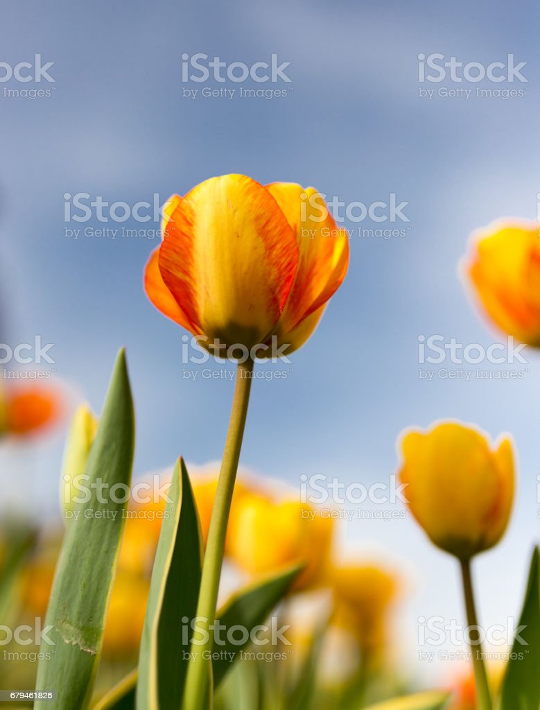 Yellow tulips against the blue sky in the nature royalty-free stock photo