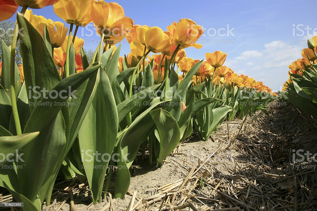 Yellow tulips - agriculture royalty-free stock photo