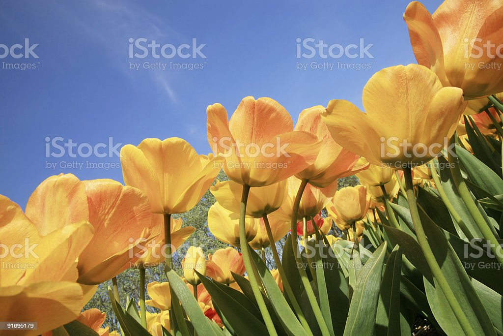 Yellow tulips and blue sky royalty-free stock photo