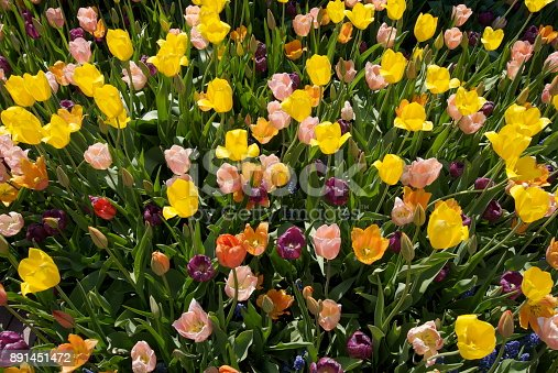 Spring is time to enjoy the tulips. Beautiful flower arrangements, and flower beds of tulips can be seen at the Chicago Botanic Garden.