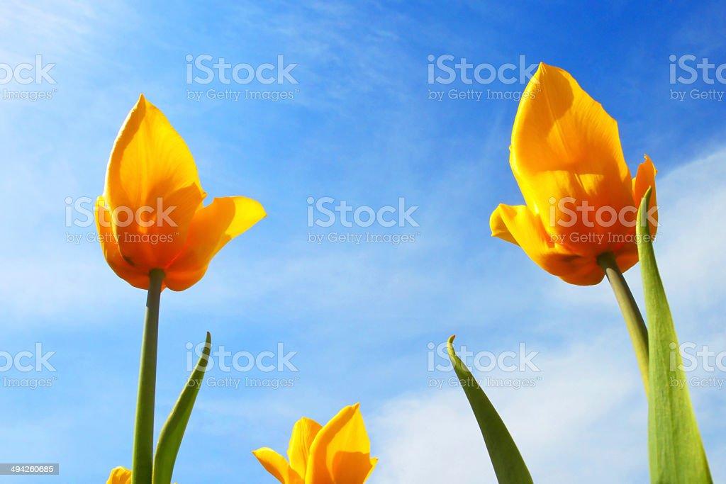 Yellow tulips close up stock photo