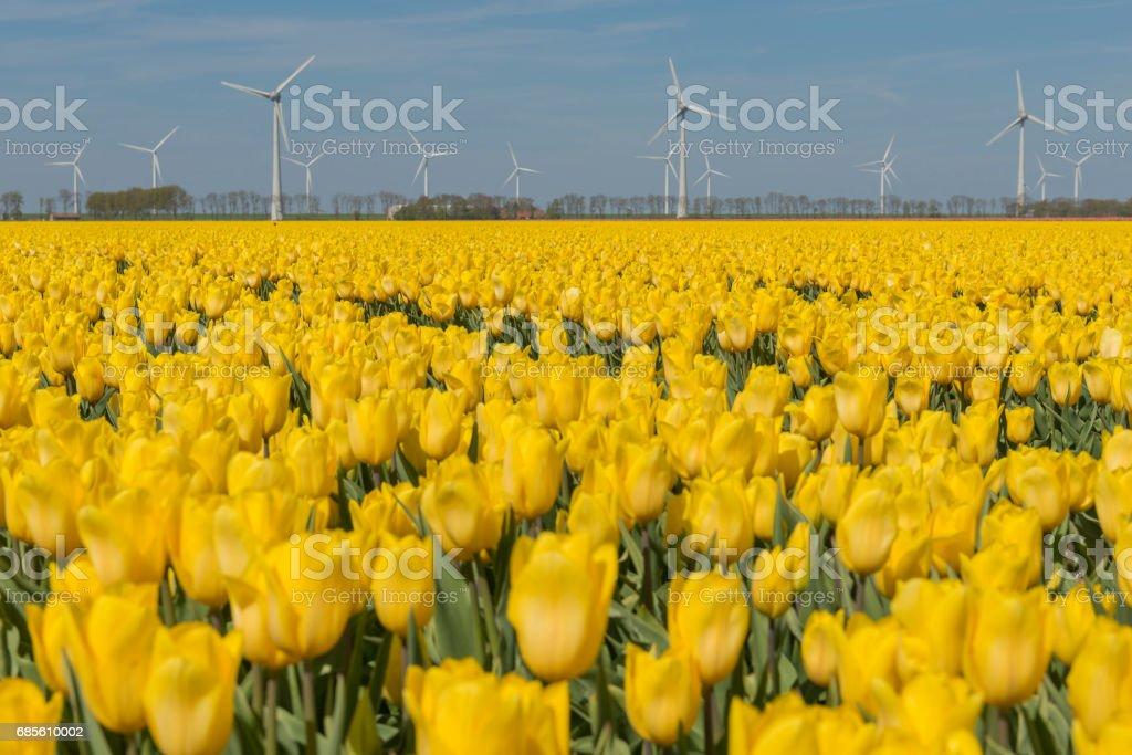 Yellow tulips field in the Dutch Noordoostpolder foto de stock royalty-free