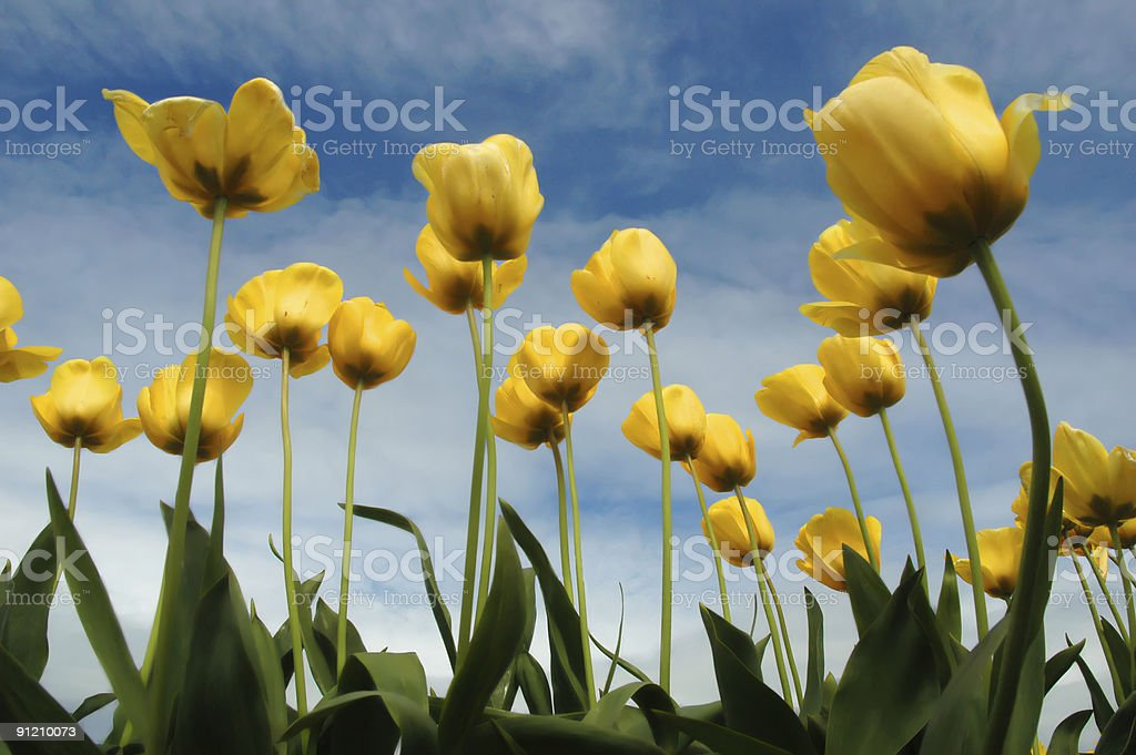 Yellow tulips from below royalty-free stock photo