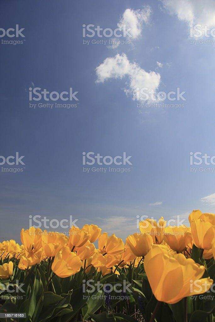 yellow tulips in a field royalty-free stock photo
