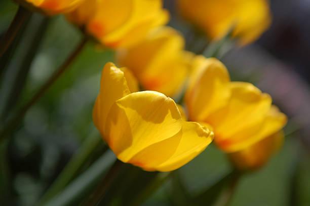 Yellow tulips in blossom stock photo