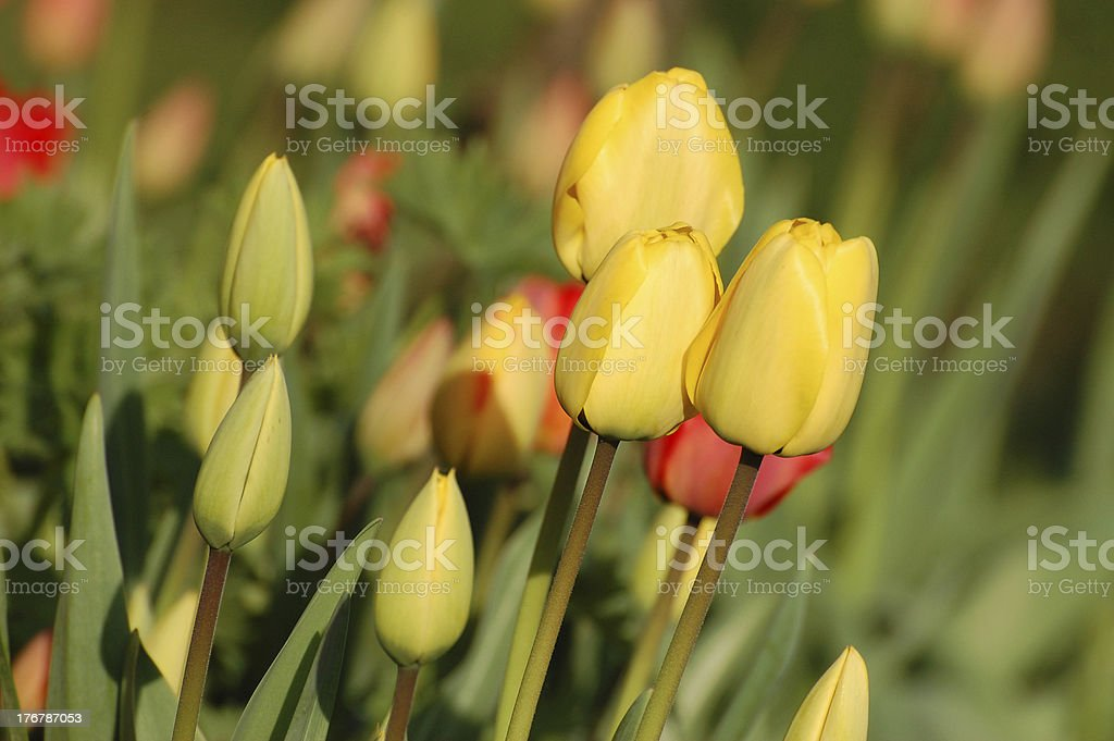 Yellow tulips in blossom stock photo